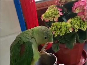 亚历山大鹦鹉,4个月多