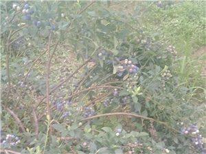 香溪官塘蓝莓园,欢迎前来采摘