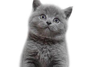 出售纯种蓝猫幼猫幼猫活体英国短毛猫英短蓝猫