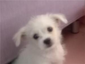 兩個月大的小白狗