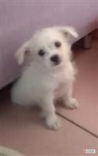 ���月大的小白狗