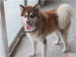 阿拉斯加犬一只、泰迪犬一只出售
