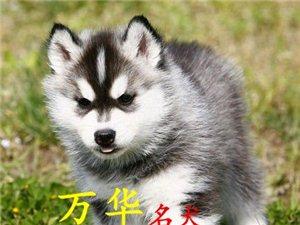 北京出售纯种哈士奇黑白色哈士奇哈士奇多少钱
