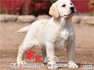 赛级拉布拉多幼犬出售北京拉布拉多价格京大犬业