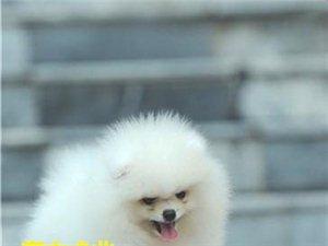 赛级博美犬白色博美多少钱一只博美价格