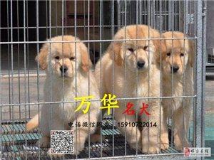 出售纯种金毛北京赛级金毛价格金毛体重多少金毛