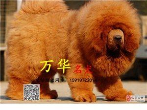 出售纯种藏獒北京赛级藏獒多少钱一只藏獒颜色