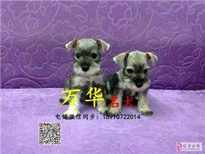 出售纯种雪纳瑞雪纳瑞幼犬价格雪纳瑞颜色