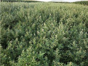 预定一年,二年,三年生的移栽中华沙棘苗