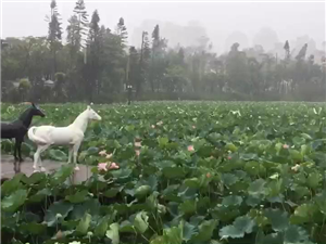 冒着大暴雨拍摄的荷塘美景视频,大家给点个赞吧!