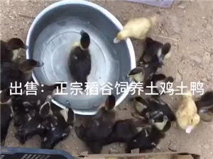 正宗稻谷饲养土鸡土鸭