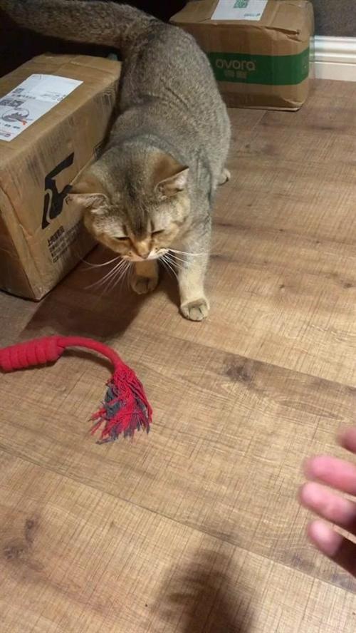 谁给你加的戏?#猫与猫与猫与猫#英短金渐