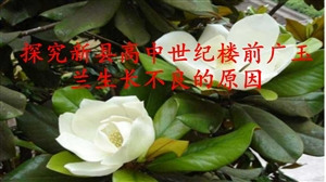 38探究新县高中世纪楼前广玉兰生长不良的原因