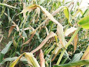 玉米丰收???