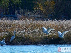 玉泽湖公园迎来首批在此越冬的白鹭