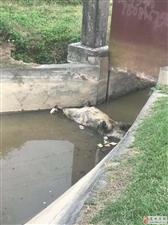冯家园村口垃圾死猪堵塞。