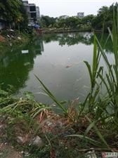 鱼塘黑臭水