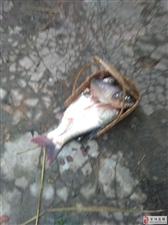 养猪场污水乱排,池塘死鱼一片