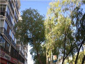 楼前大树无人管