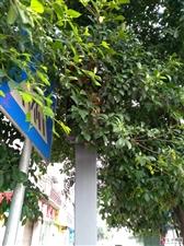 千盛广场信号灯被树叶遮挡