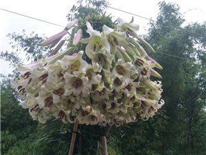 旺苍网红百合花