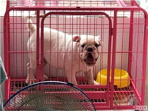家有憨狗一条,疫苗齐全,爸妈不让养,给它找个好下家