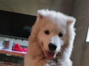 出售萨摩耶犬一只