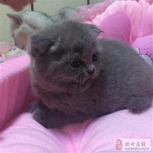 蓝猫博美免费送养