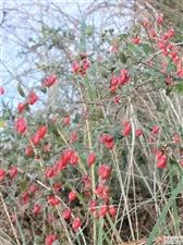 《菊*红豆》