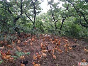 农村自家散养笨鸡