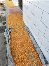 张家川老家的玉米丰收了