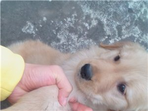 出售一只友好可爱金毛幼犬