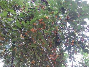 满树的果子