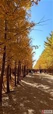 秋----银杏叶