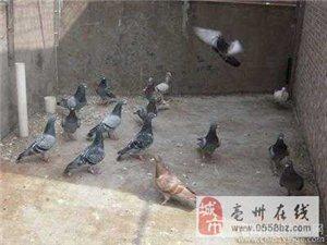 信鸽乳鸽种鸽