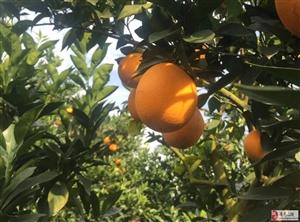 澳门牌九网址高山脐橙