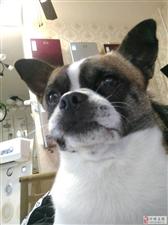 万能的朋友圈帮我转发哈嘛,我家狗狗中午在天阜名城,鼎盛灯饰走丢了,麻烦好心人看见的通知哈,重谢187