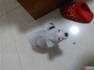 宠物 谁家的小白狗走丢了?