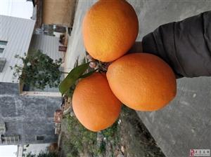 求购赣南脐橙大果90-100,要求本地果,无沙皮