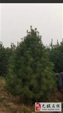 我这有国槐白腊法桐北栾等多种树苗急于出售13315958932