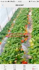 新县洞口将军红草莓园草莓真好吃!