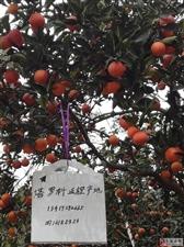 欢迎采摘购买塔罗科.血橙,香水橙,散养鸡,红苕淀粉