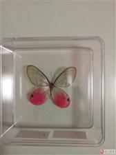 我的蝶翅标本收藏