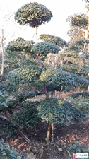 景观造型树产地直销。