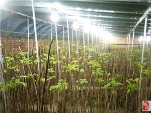 鲜嫩香椿芽上市需要的采购联系我18056188618