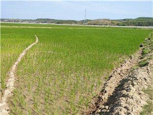 儋州市海头镇七柏榔水稻干旱,水塘被排干