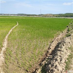 大发快3市海头镇七柏榔水稻干旱,水塘被排≡干