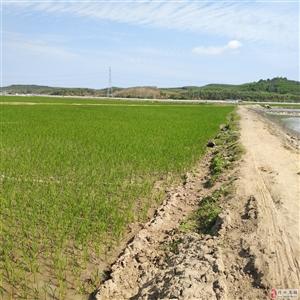 大发快3市海头镇七柏榔水稻干旱,水塘被排干