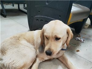 爱犬寻找主人:老县委附近捡到一条拉布拉多,米黄色,带有蓝外内黑的项圈,脖子下方有黑印