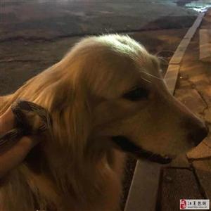 寻狗,在江夏区明熙小学附近丢失一只金毛